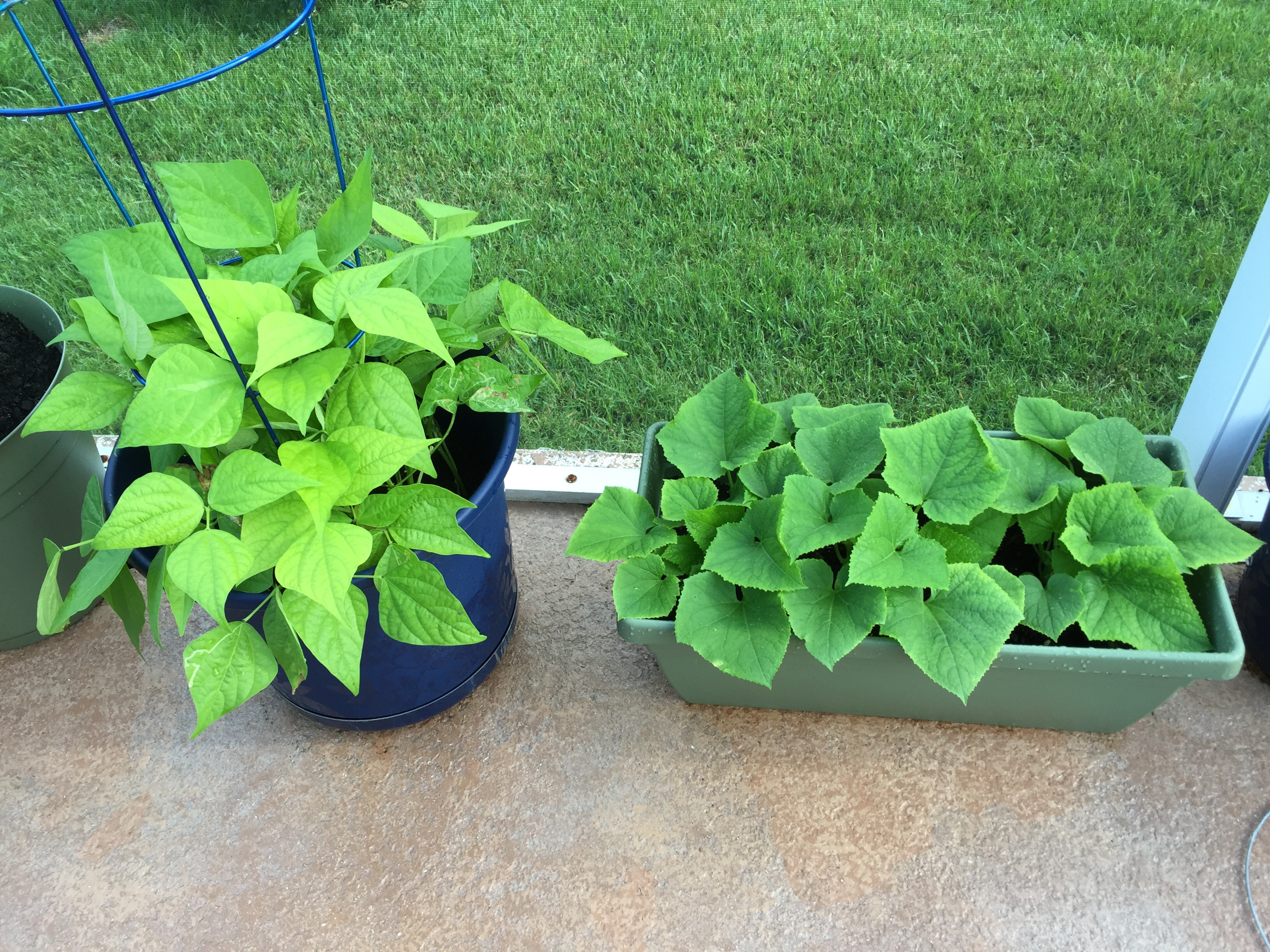 2 Gals Florida Container Gardening An Experiment In Gardening On The Lanai